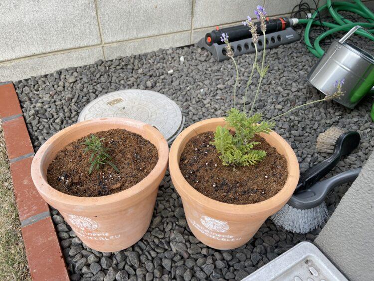 ローズマリーとラベンダーの植え替え