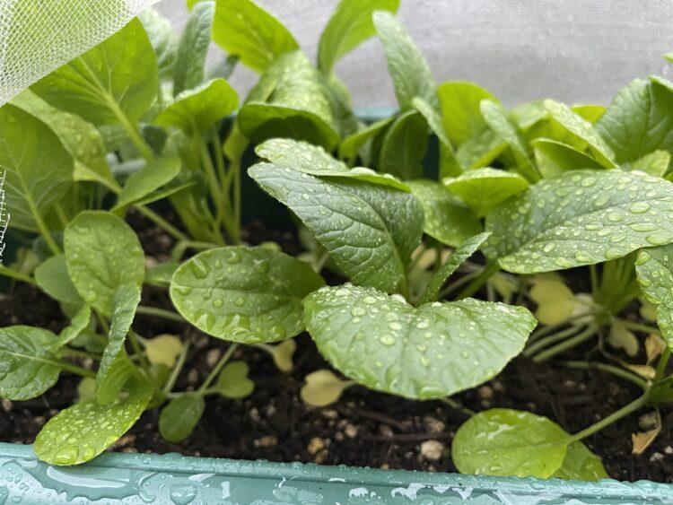 小松菜成長後の画像